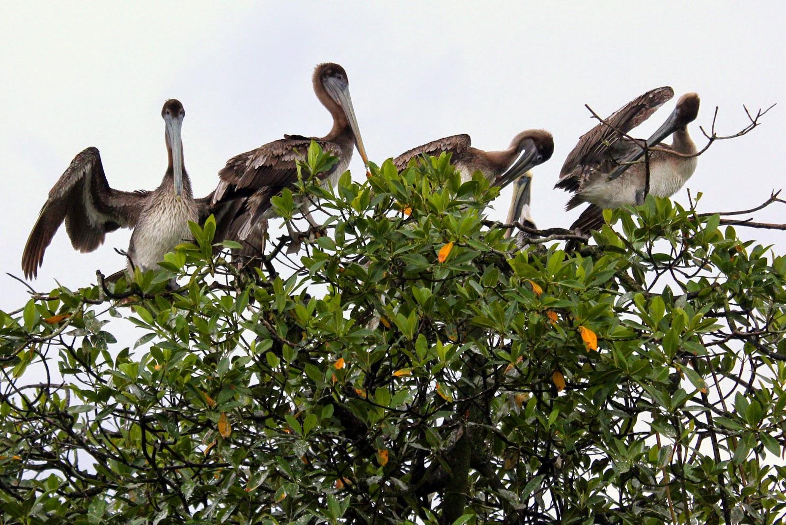 pellicani rio dulce guatemala