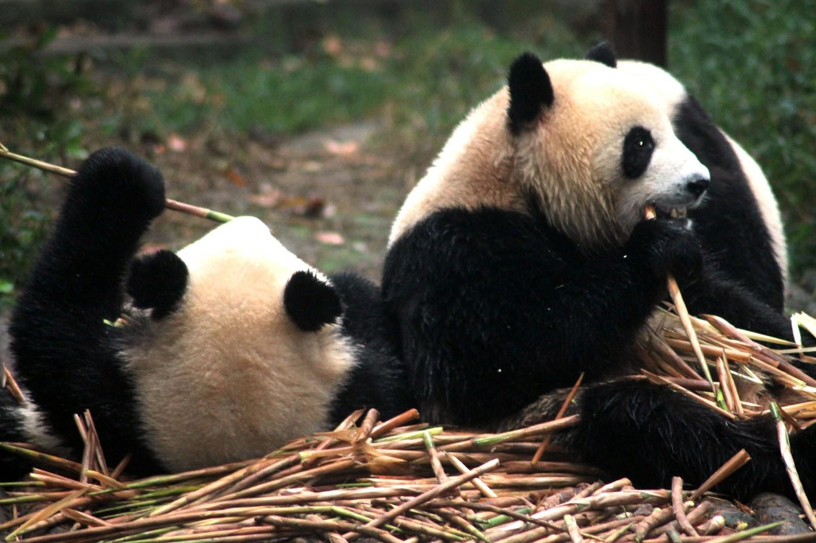 panda gigante chengdu cina
