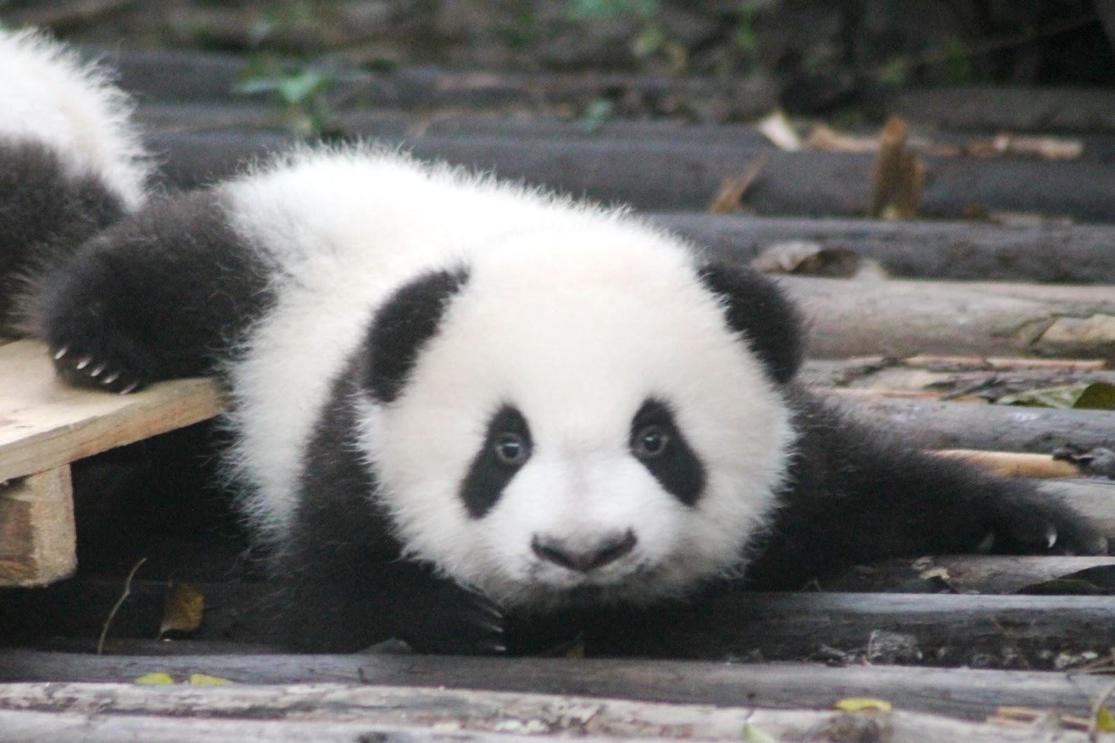 cucciolo panda chengdu cina