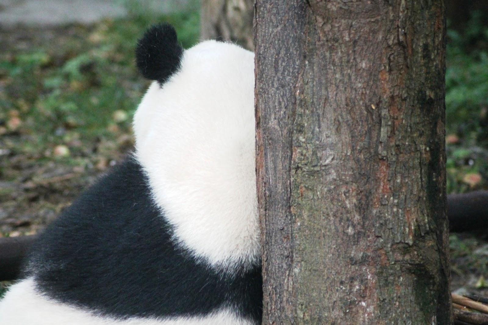 panda chengdu cina