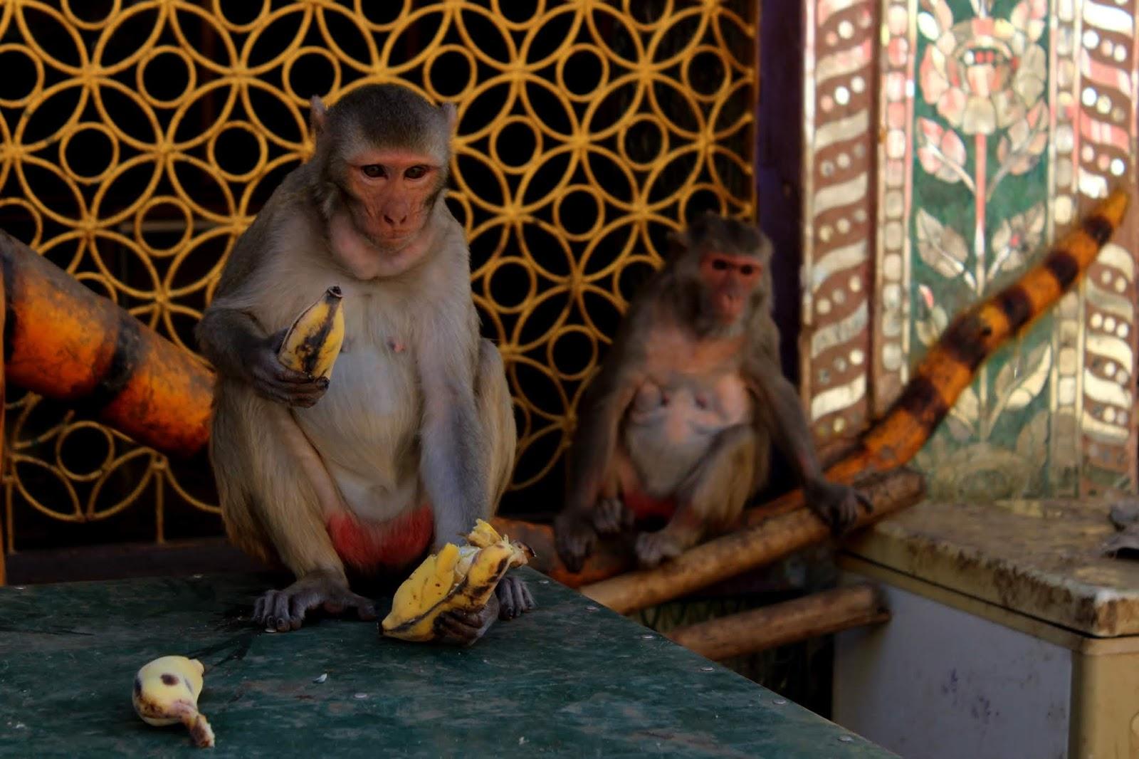 scimmie monte popa birmania