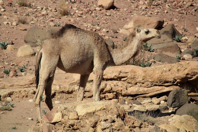 dromedario wadi dana giordania