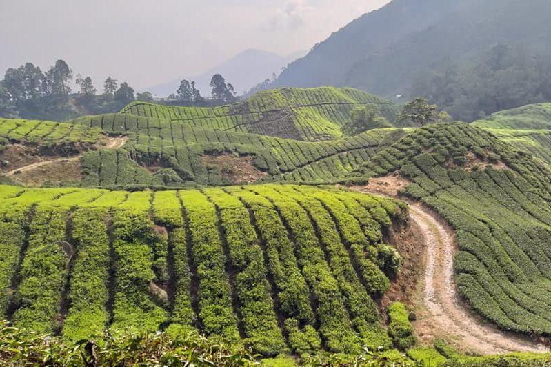 itinerario di viaggio malesia e singapore: cameron highlands