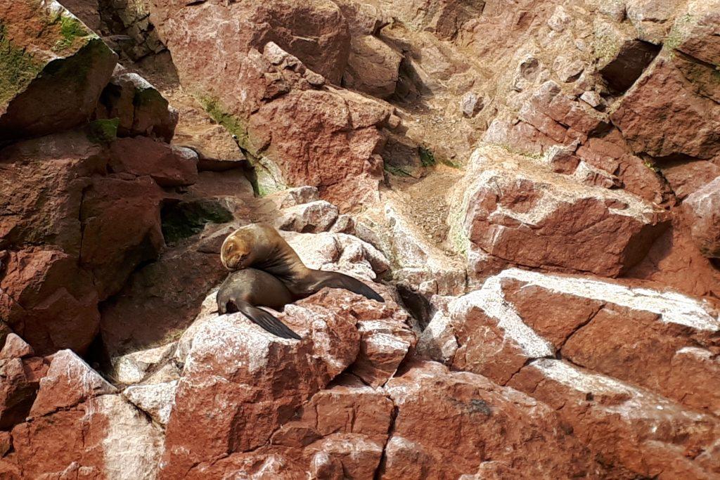 otaria riserva nazionale di paracas
