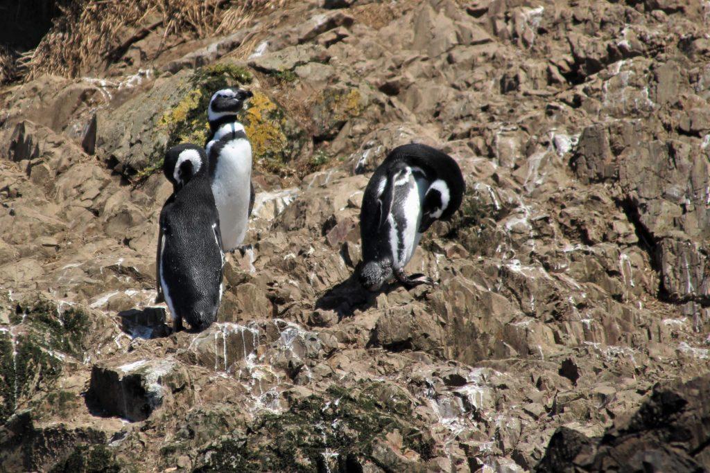 pinguini di humboldt riserva nazionale di paracas