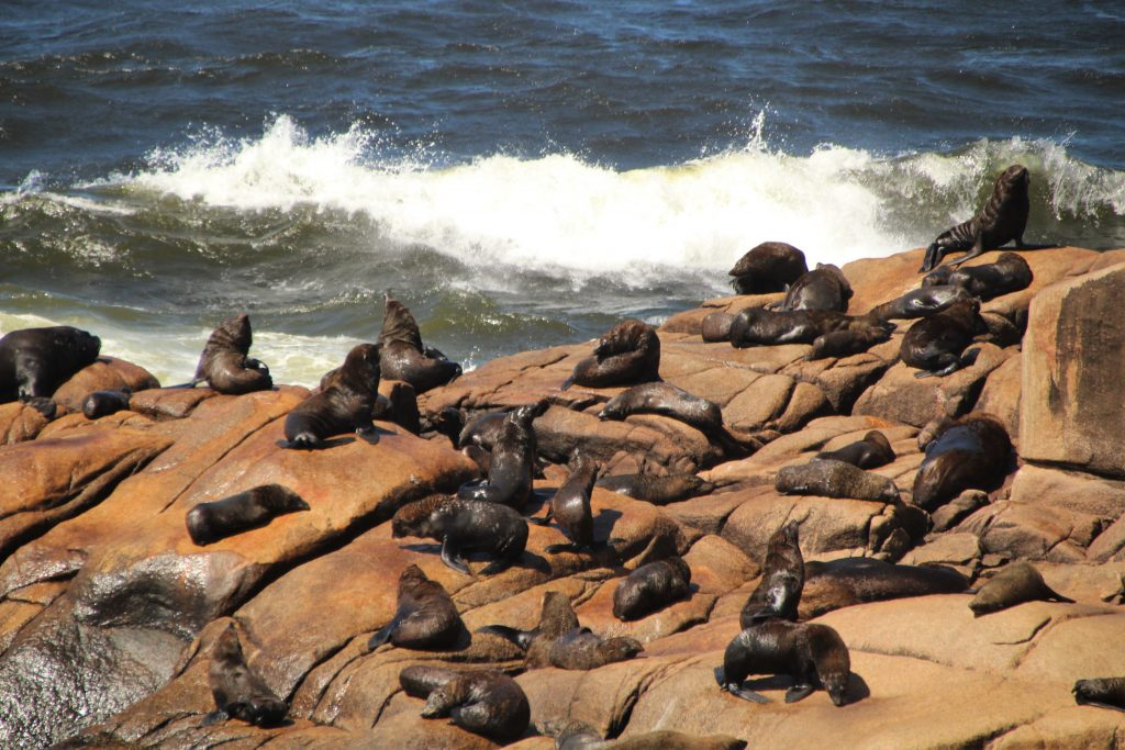 Leoni marini e foche di Cabo Polonio, Uruguay