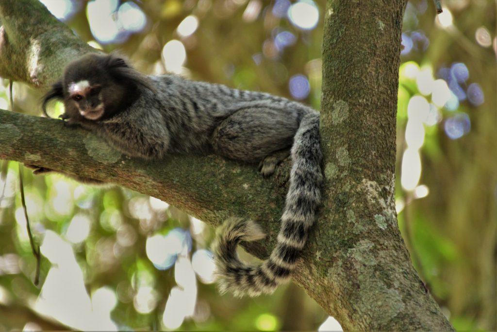 Ilha Grande Scimmia Tamarina