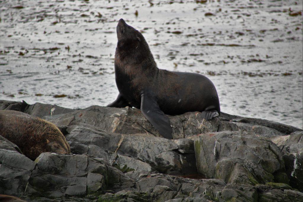 Isla de los Lobos, Leone Marino - Crociera nel Canale di Beagle