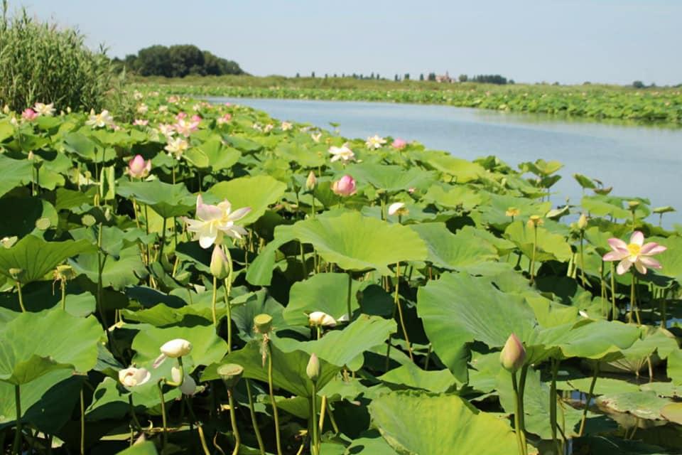 Navigazione fiori di loto Mincio, Mantova