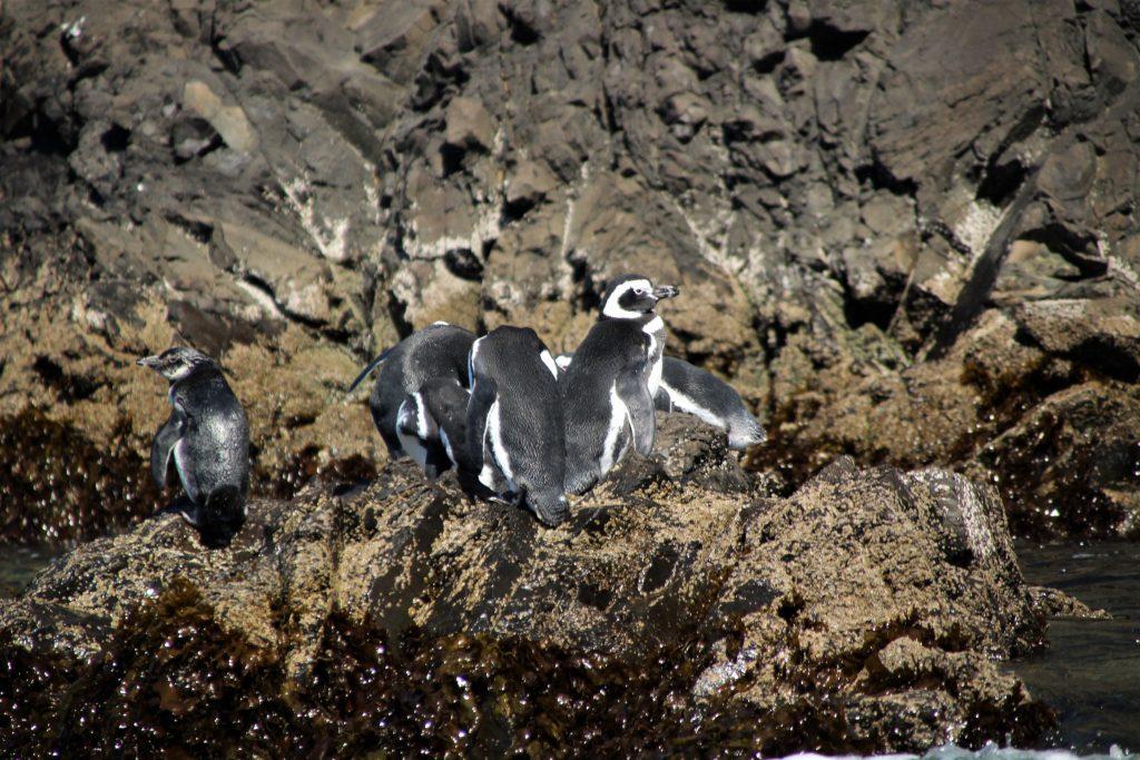 Cosa vedere sull'Isola di Chiloé - Pinguini