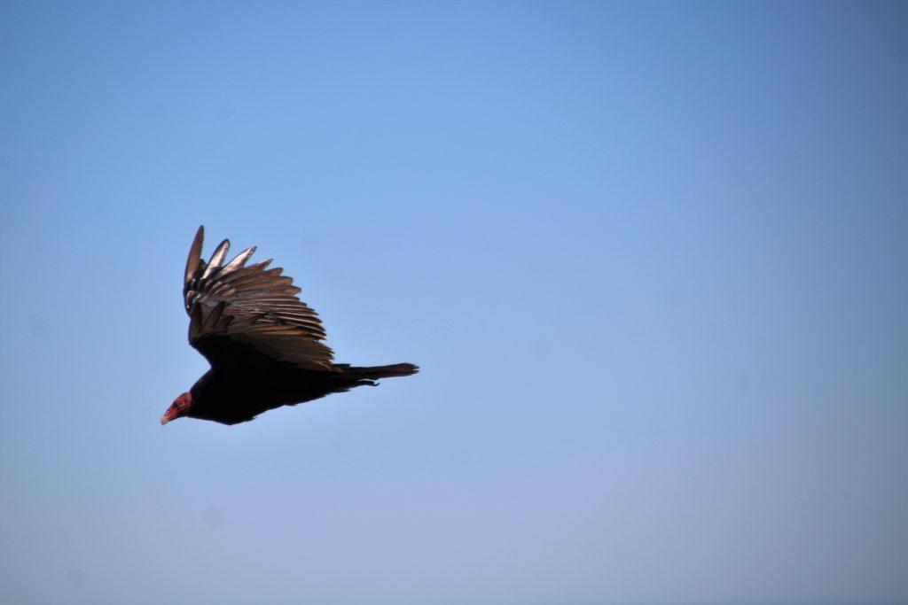 Condor in volo - animali a Chiloé