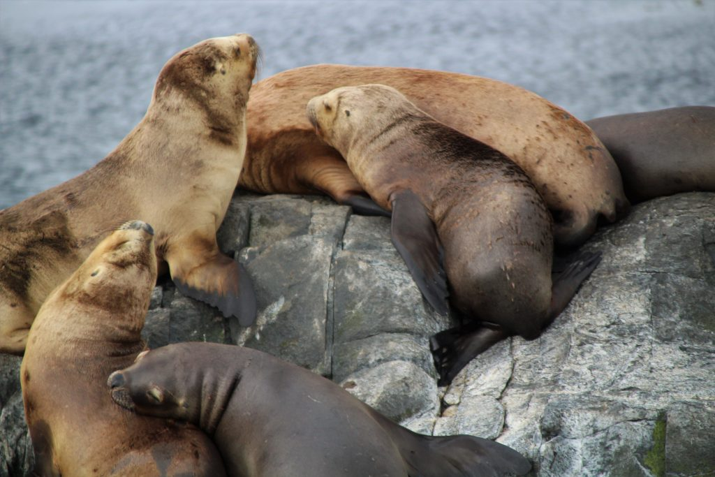 Organizzare un viaggio in Patagonia fai da te - Leoni marini